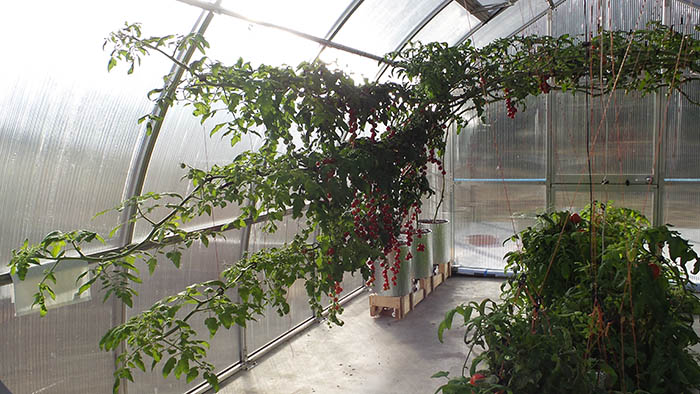 oct 16 photo 3 riga xl tomato crop