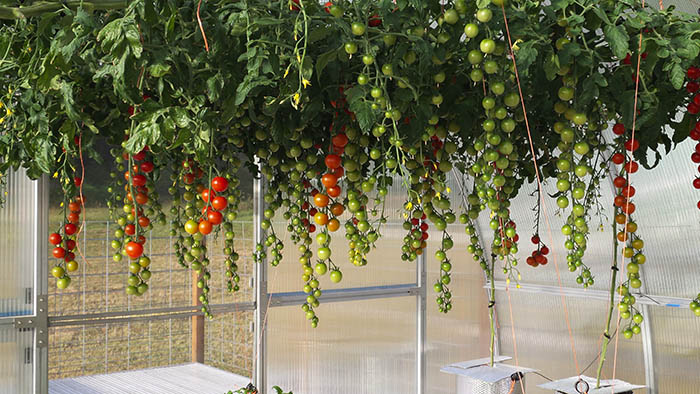 july 14 riga xl tomato crop